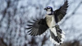 Urraca azul en pleno vuelo